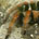 Mygale (Brachypelma smithi)